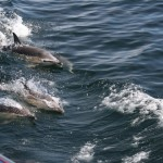Dolphins on the Way to Lunga